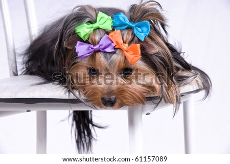 portrait of the small amusing yorkshire terrier - stock photo