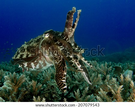 Portrait of the solitaire cuttlefish, the perfect mimicry close to the bottom. Coral reef at Togeans, Indonesia. - stock photo