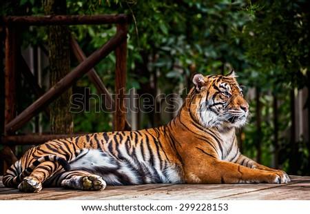 Portrait of the Sumatran tiger ( Panthera tigris sumatrae )  - stock photo