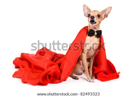 portrait of the terrier dressed as a vampire on a white background - stock photo