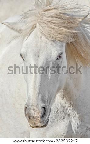 Portrait of the White Camargue Horse in Parc Regional de Camargue - Provence, France - stock photo