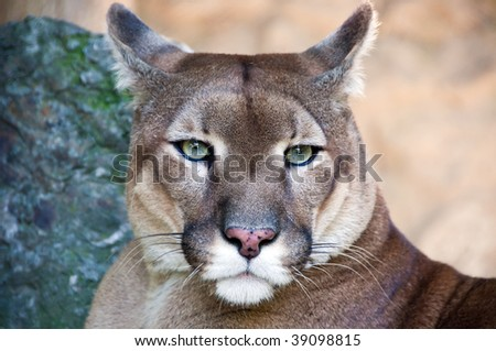 Portrait of the wild cat puma captured in the zoo. - stock photo