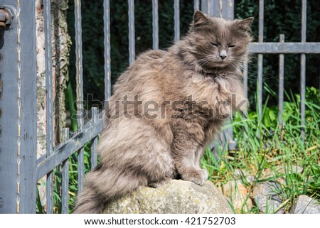 Portrait of thick long-hair gray Chantilly Tiffany cat relaxing in the garden. Close up of fat female cat with large long hair sitting at home. Grey Tiffanie lying in garden on sunny day  - stock photo