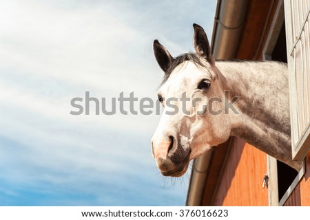Portrait of thoroughbred gray horse in stable window on a blue sky background. Multicolored summertime horizontal outdoors filtered image. - stock photo