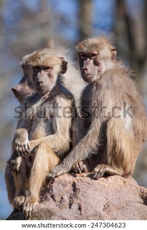 portrait of three baboons sitting an a rock, South Africa - stock photo