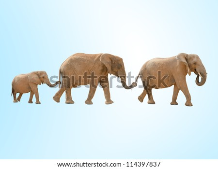 portrait of three elephants walking against a blue background - stock photo