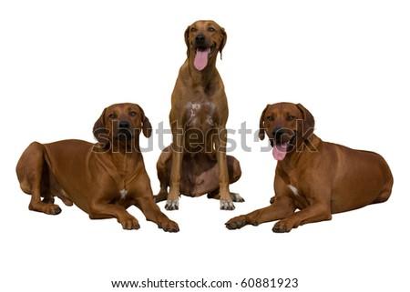 Portrait of three rhodesian ridgeback on white background - stock photo