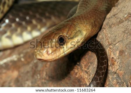 Portrait of tree snake - Elaphe longissima - stock photo