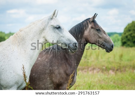 Portrait of two beautiful andalusian horses - stock photo