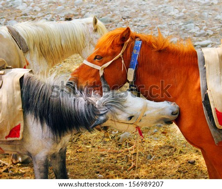 Portrait of two beautiful domestic horses (white and chestnut) bite each other in Leh district, Ladakh, Himalaya, Jammu & Kashmir, Northern India, Central Asia - stock photo