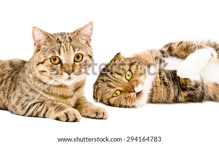 Portrait of two cats Scottish Straight and Scottish Fold  together, closeup, isolated on white background - stock photo