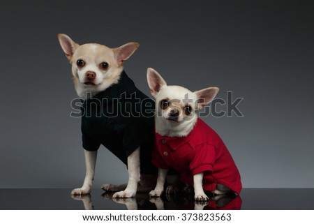 Portrait of Two Chihuahua dogs in stylish clothes. Blue background - stock photo
