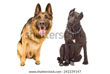 Portrait of two curious dogs breed German shepherd and Staffordshire Terrier - stock photo