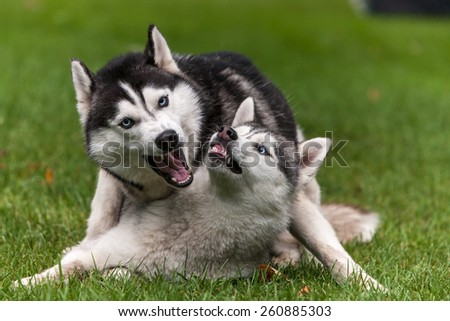 Portrait of two dogs - Siberian Husky on the background of green grass - stock photo