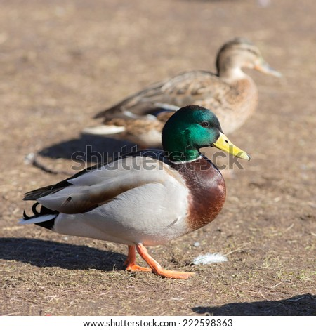 portrait of two ducks in sunny day - stock photo