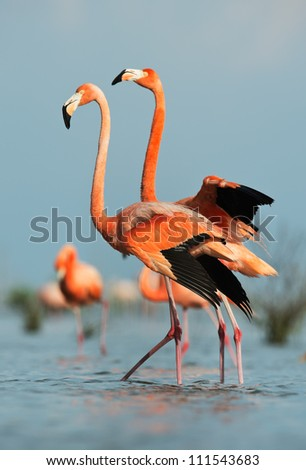Portrait of two Great Flamingo on the blue background . Rio Maximo, Camaguey, Cuba. - stock photo