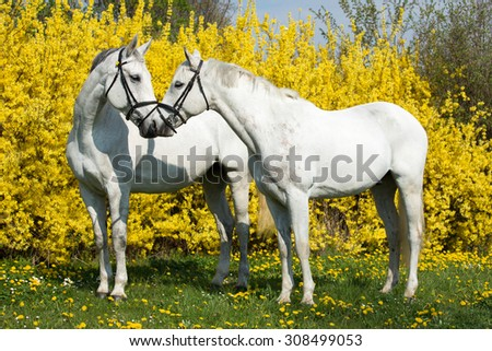 Portrait of two horses on a yellow background - stock photo