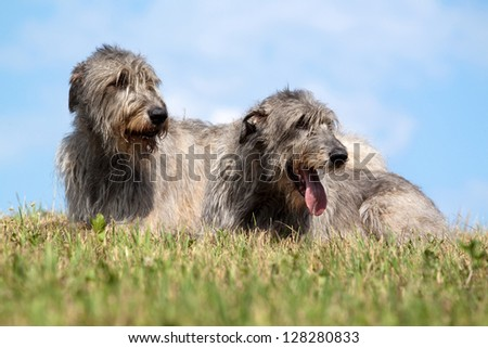 Portrait of two Irish wolfhound lying in the grass - stock photo