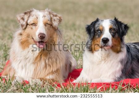 Portrait of two nice australian shepherd dogs - stock photo