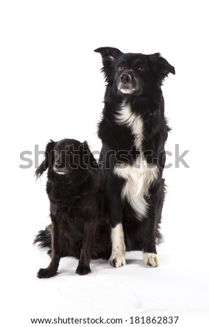 Portrait of two sitting dogs - stock photo