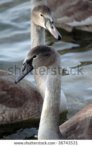 portrait of two swan on sea - stock photo