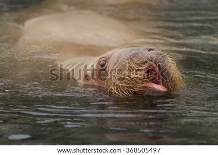 portrait of walrus - stock photo