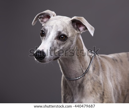 Portrait of Whippet dog on a gray background  - stock photo