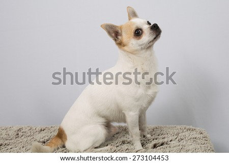 Portrait of white  Chihuahua against grey background - stock photo