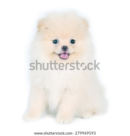 Portrait of white Pomeranian dog. - stock photo