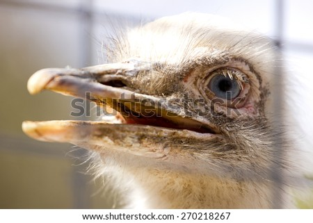 Portrait of white rhea americana - stock photo
