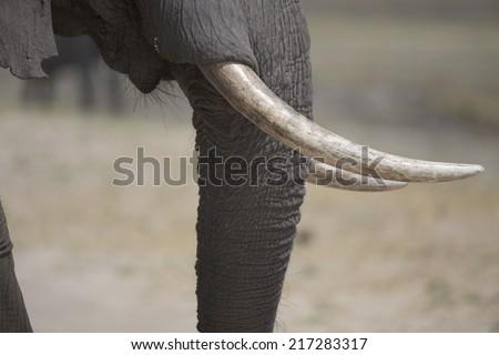 Portrait of wild african elephant - stock photo