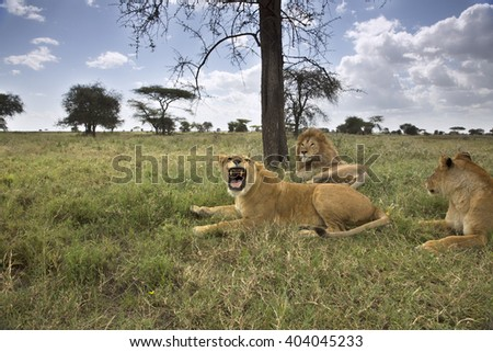Portrait of wild african lion - stock photo