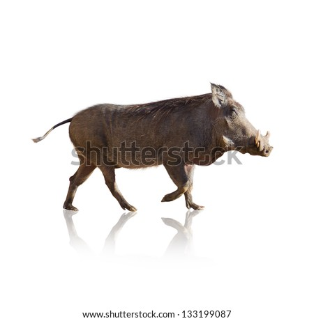 Portrait Of Wild Boar Isolated On White Background - stock photo