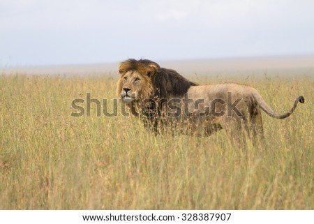 Portrait of wild free african lion - stock photo
