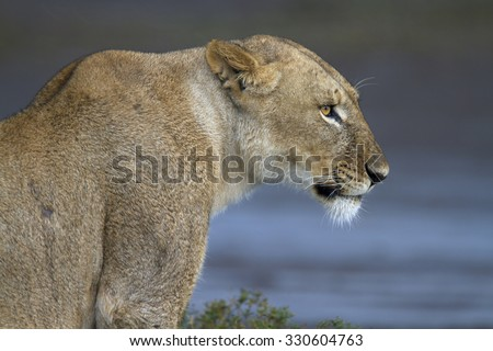 Portrait of wild lion growling in its natural savanna habitat - stock photo