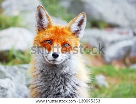 Portrait of wild red fox - stock photo