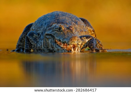 Portrait of Yacare Caiman, crocodile in the water with evening sun, Pantanal, Brazil - stock photo