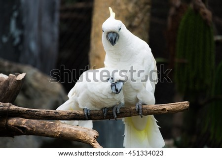 Portrait of Yellow-crested Cockatoo. Lovey Cockatoo - stock photo