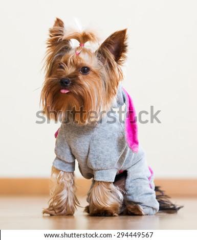 Portrait of Yorkshire Terrier dog in catsuit indoor - stock photo