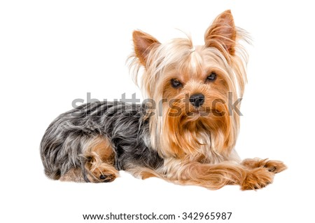 Portrait of Yorkshire terrier lying isolated on white background, side view - stock photo