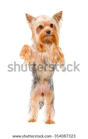 Portrait of Yorkshire terrier standing on his hind legs, isolated on a white background - stock photo