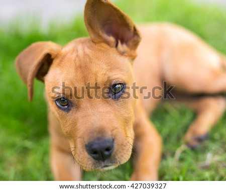 Portrait of young american stafford terrier in green grass.  - stock photo