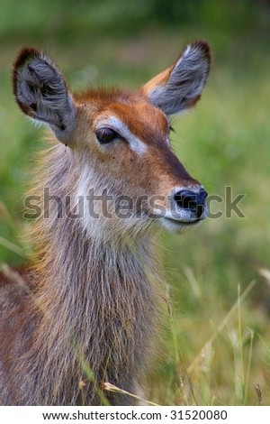 Portrait of young female waterbuck - stock photo