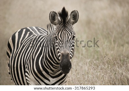 portrait of zebra in field - stock photo