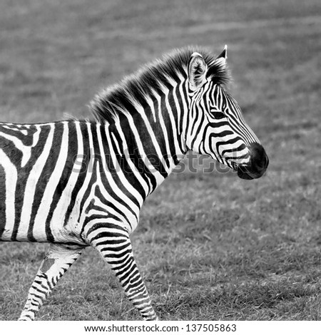 Portrait of zebras in the Lake Manyara National Park - Tanzania, Eastern Africa (black and white) - stock photo