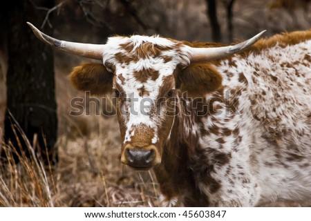 Portrait photo of a Texas Longhorn. - stock photo