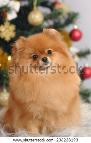 portrait pomeranian dog  in home - stock photo