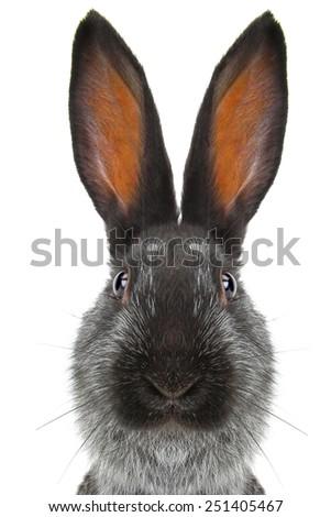 portrait  rabbit on a white background - stock photo