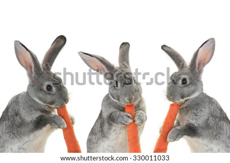 portrait, rabbits with carrot isolated on white background - stock photo
