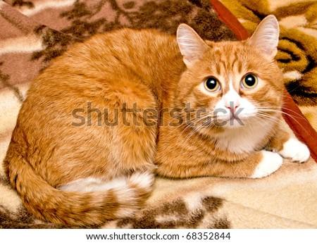 Portrait, redhead cat color - stock photo